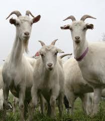 Как определить возраст козы