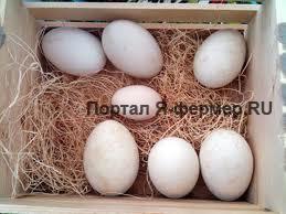 Гусиные яйца, фото