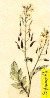 Горчичный мед: описание, применение, рецепты