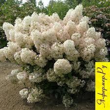 Гортензия метельчатая: описание, размножение, семена, зимовка, применение