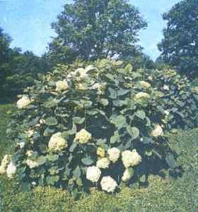 Гортензия серая садовая, фото