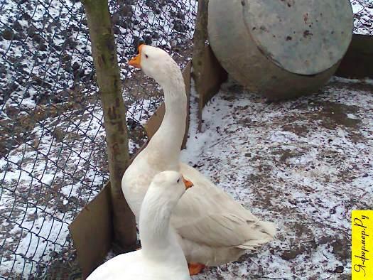 Подскажите, какая порода гусей?