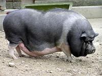 свинка для расплода