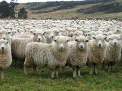отара овец, фото