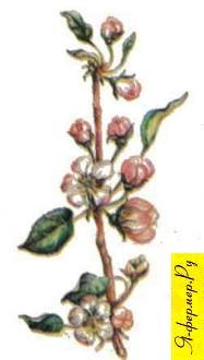 Яблоневый мед: описание, применение, рецепты