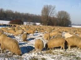 овцы на зимнем пастбище, фото