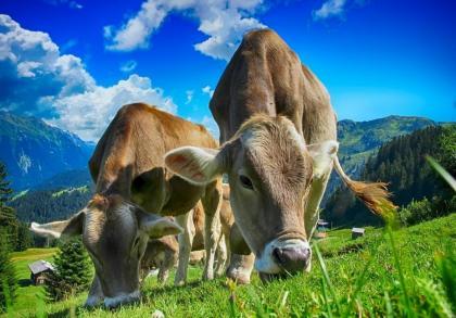 Кальценон: спасение от пареза у коров.