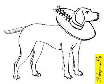 Картонный ошейник надежно предохраняет голову собаки от расчесов задними лапами