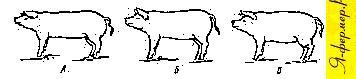 Контуры мясных, мясо-сальных и сальных свиней живой массой 100—120 кг