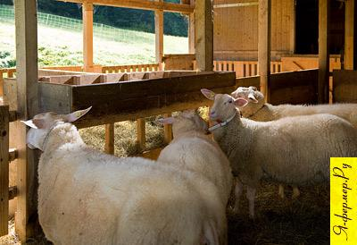 Нормы размещения сельскохозяйственных животных в помещениях. Кормушки для овец.