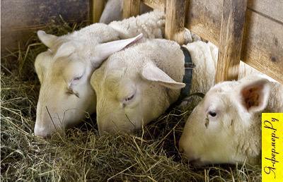 Уровень корма в кормушке для овец