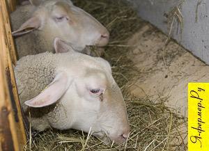 Дно в кормушках для овец оптимально сделать наклонным