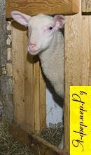 Узкий лаз для ягнят. Взрослые овцы не пройдут к корму для ягнят