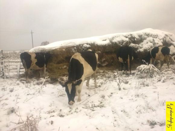 Чтобы корова не зажимала молоко.