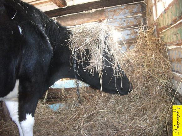 Как лучше откармливать скот: на привязи или на воле?