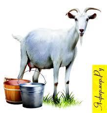 Козье молоко и коза.