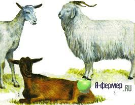 У козы одна доля вымени твёрдая и как лёд