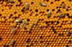 Синдром разрушения колоний (пчелиных семей)