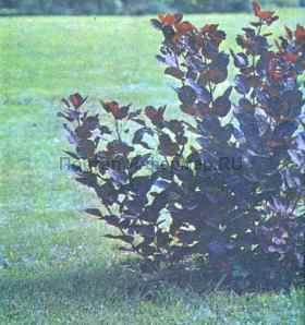 Красная садовая форма скумпии, фото