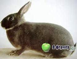 кролик породы Белка