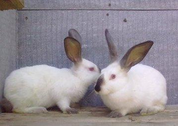 порода фотографиями с мясная кроликов