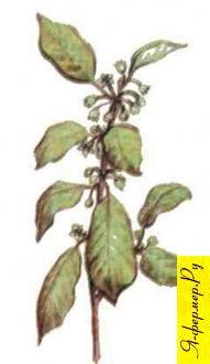 Крушинно-малиновый мед: описание, применение, рецепты