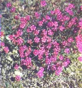 Гвоздика травянка, фото
