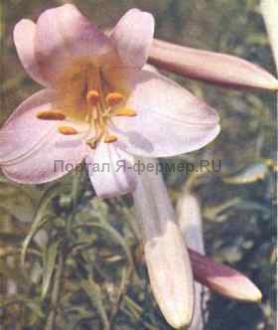 Лилия регале, фото