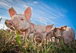 маленькие поросята гуляют по траве