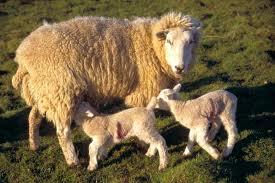 выращивание овец и ягнят
