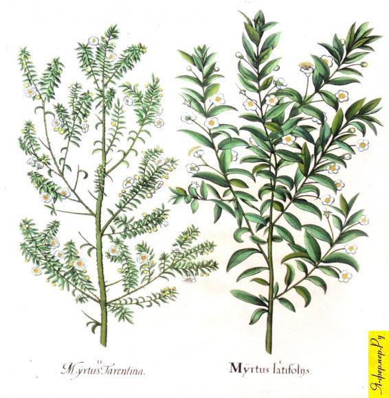 На рисунки два вида растения мирт.