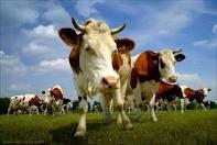 Как лечить мастит у коровы народными средствами.
