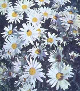Нивяник обыкновенный крупноцветковый, фото