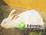 Кролик породы Новозеландская белая.