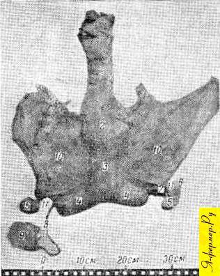 Общий вид половых органов верблюдицы