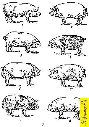 Отечественные породы свиней: крупная белая; украинская белая; ливенская; миргородская; уржумская, сибирская северная; северокавказская; брейтовская