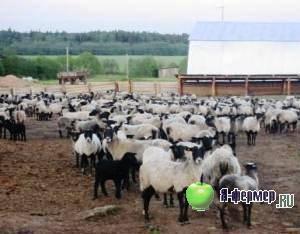 Измерение промеров и вычисление индексов телосложения у овец
