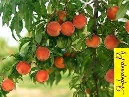 Кудесник - столовый среднеспелый сорт персиков