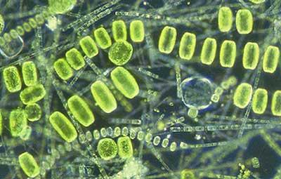 Фитопланктон — растение наших водоёмов