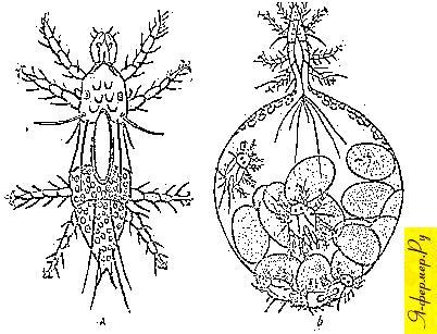 Пиемотоз — болезнь личинок и куколок пчел. На рисунке: