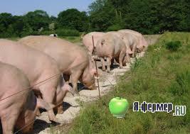 Преимущества свиньи по сравнению с другими сельскохозяйственными животными.