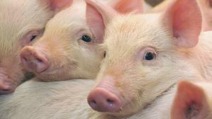 Материнские породы свиней