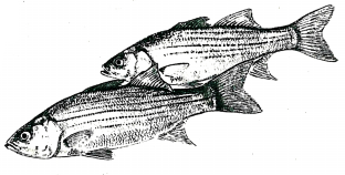Полосатый окунь — Morone saxatilis (Mitschitl)