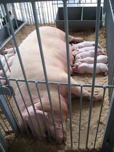 Полтавская мясная порода свиней