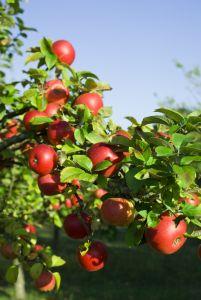 Краткая характеристика некоторых сортов яблони