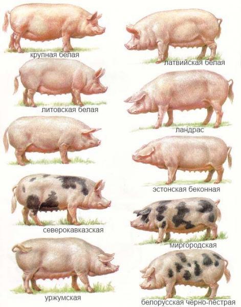 Выбор мясной породы поросят.
