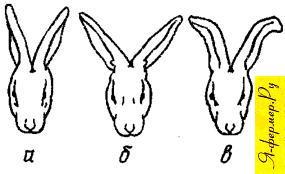 Постановка ушей у кроликов