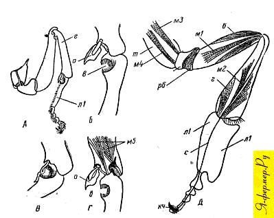 Приспособление для чистки усиков и мускулы внутри ножки у пчёл