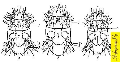 Различия в строении тела клещей