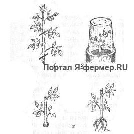 Размножение роз зелеными черенками в комнатных условиях
